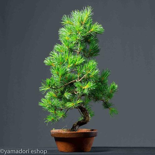 Toru -White Pine Japan