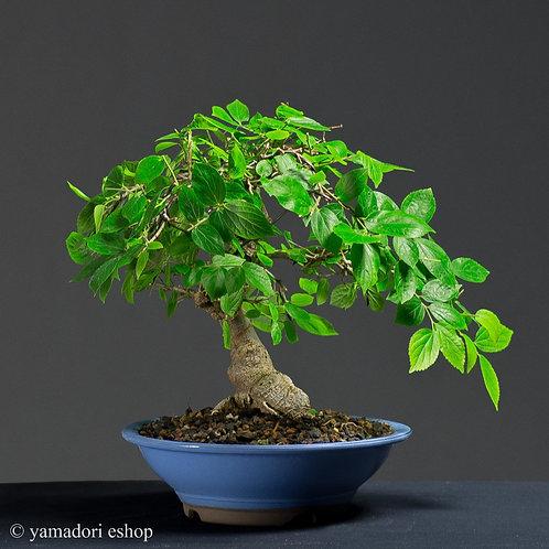 Kokoro -Celtis
