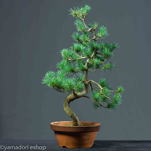 Ken -White Pine Japan