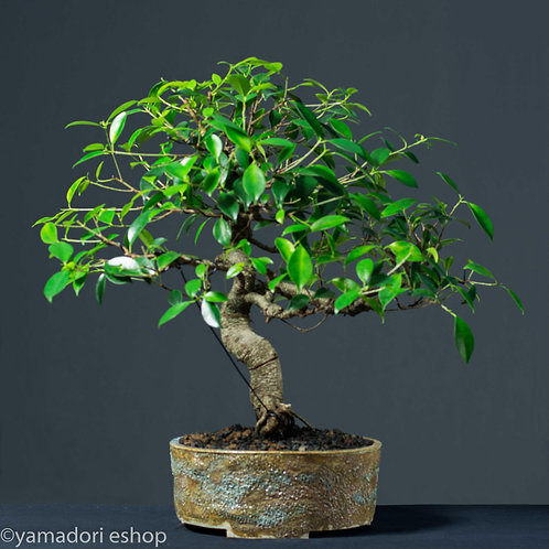 Toru -Ficus Retusa XL