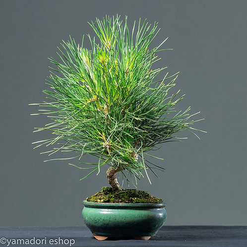 Yori-Black Pine Japan