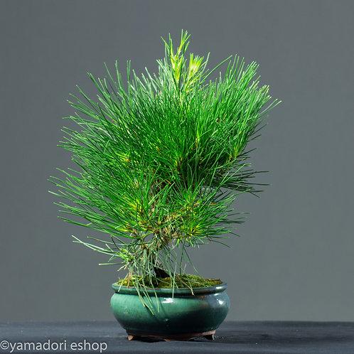 Cho-Black Pine Japan