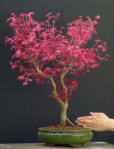 Acer Deshojo