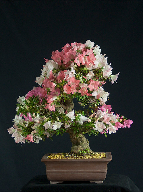 Rhododendron Satsuki Jyuko