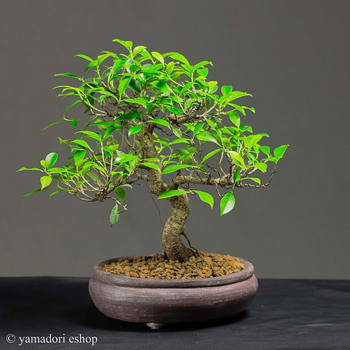 Ficus Retusa handmade pot