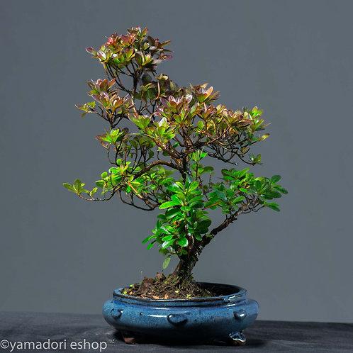 Akane -Rhododendron Azalea