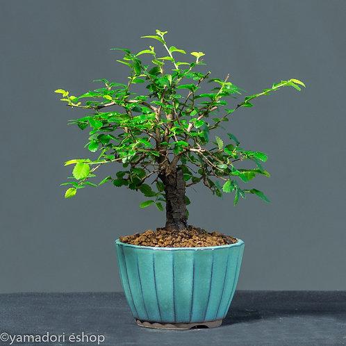 Sakhiko-Ulmus Parvifolia Shohin