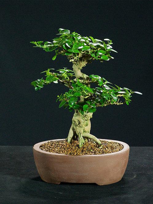 Premna microphylla