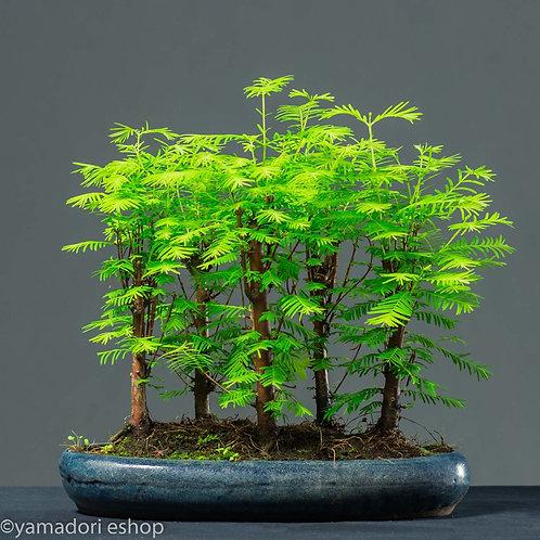 Kenji-Metasequoia forest (Yose-ue)