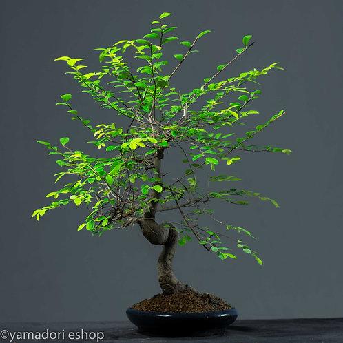 Satomi -Ulmus Parvifolia