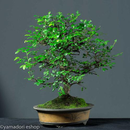 Midori-Ulmus Parvifolia