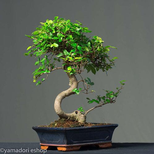 Yuki-Ulmus Parvifolia