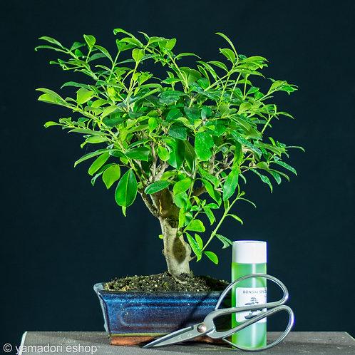 Eugenia Myrtifolia+Ψαλίδι+Λίπασμα