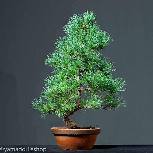 Ryunosuke -White Pine Japan