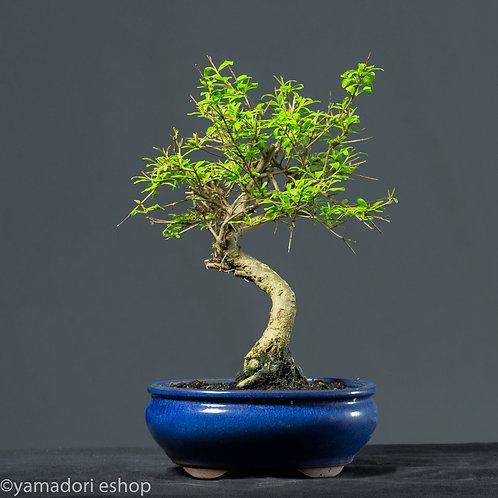 Shion -Punica Granatum