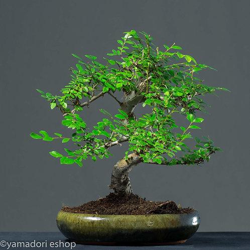 Honoka-Ulmus Parvifolia