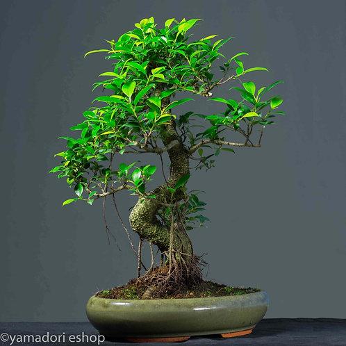 Saori -Ficus Retusa XL
