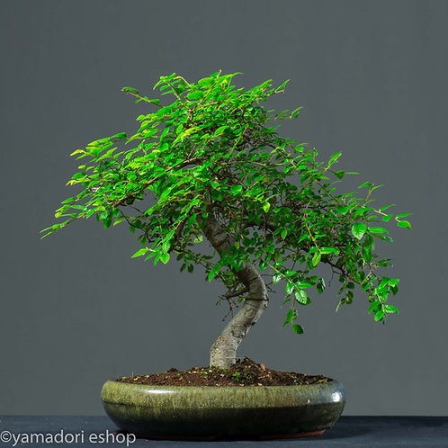 Ema-Ulmus Parvifolia