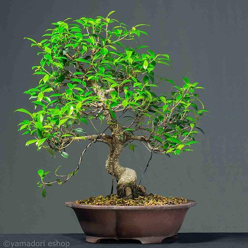 Enji - Ficus Retusa XL