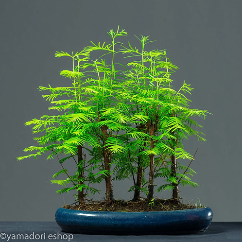 Hiraku-Metasequoia forest (Yose-ue)