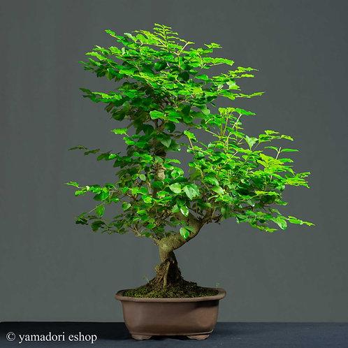 Yu -Ligustrum Sinensis