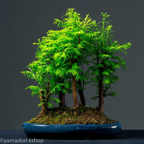Itsuki-Metasequoia forest (Yose-ue)