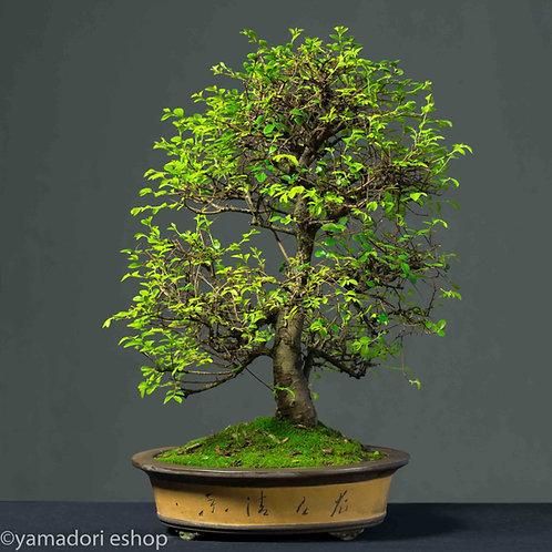 Mayu-Ulmus Parvifolia