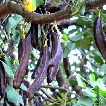 עץ חרוב