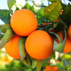 תפוז טבורי - וושינגטון