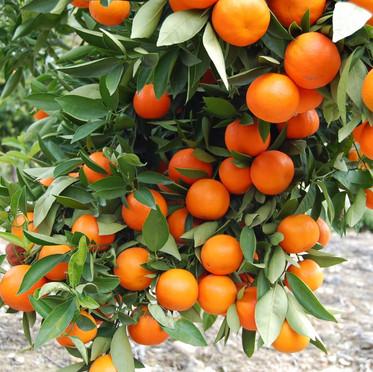 עץ תפוז שמוטי