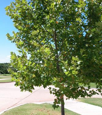 עץ דולב