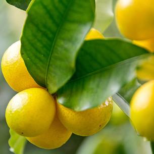 עץ לימון לימקוואט