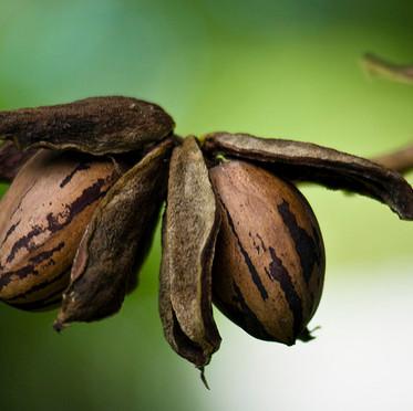 עץ פקאן