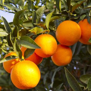 עץ תפוז ולנסיה