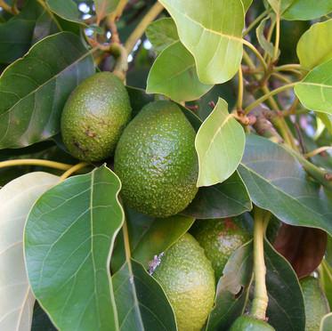 עץ אבוקדו