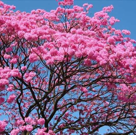 עץ טבבויה