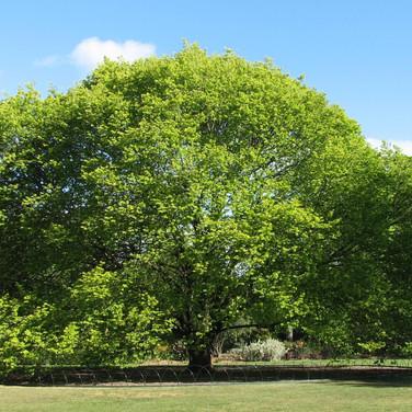 עץ אולמוס