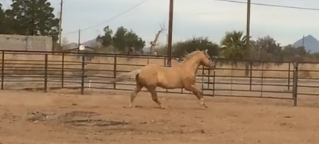 Check out a Jaure Performance Horse in ACTION… January 18, 2016 - Kick It In The Nic, a.k.a. Snoopy,
