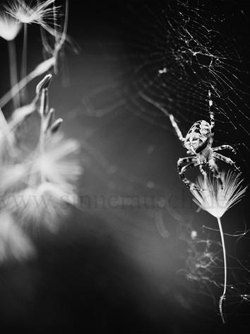 Spider-lj-sw-K.jpg