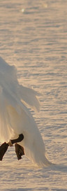Lądujący łabędz Z UZNANIEM AUTORSTWA. 1000px.jpg