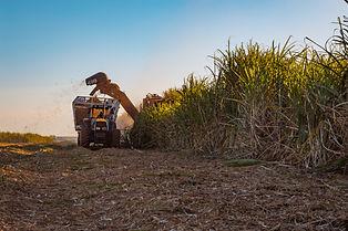 Sugarcane plantation harvesting.jpg
