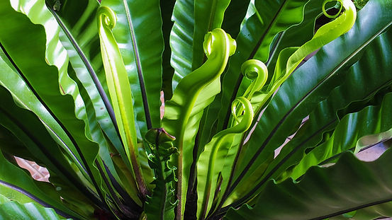 Bird's Nest Fern.jpg