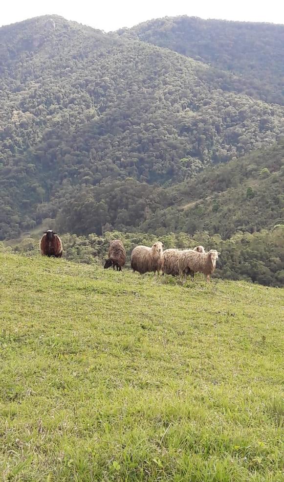 ovelhas.jpeg