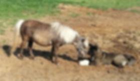 Akita breeder