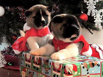 Cute Akita puppies