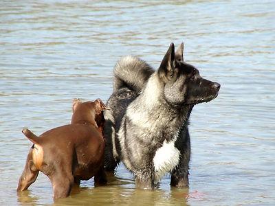 Akita Puppies Near me