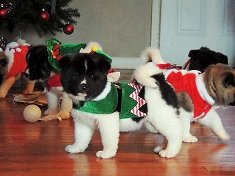 Buy Akita puppies