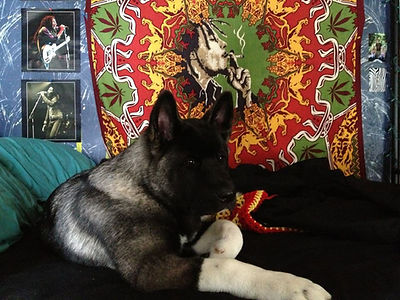 Where to buy Akita puppies