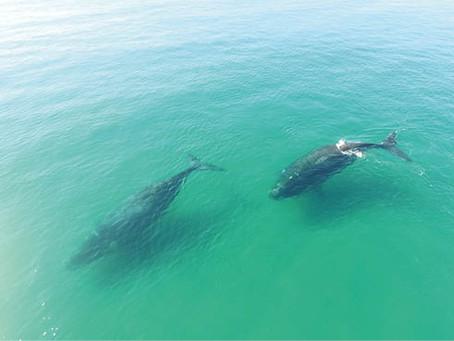 Portaria do Ministério do Meio Ambiente confirma dia da Baleia Franca
