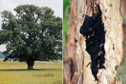 Daily Mirror - English Oak trees could be wiped by killer disease ravaging Britain's countryside